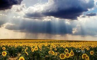 Bing Thmes champs de tournesols nuages Widescreen Wallpaper