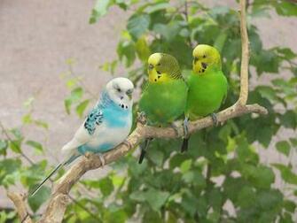 Lovebirds On Tree Branch Wallpaper 16001200   Birds Wallpapers