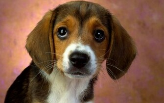 Puppy Eyes Beagle Wallpapers HD Wallpapers