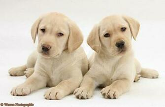 Yellow Labrador Retriever puppies 9 weeks old white background