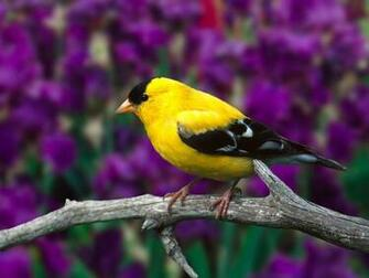 YELLOW BIRD ON TREE BRANCH WALLPAPER   283   HD Wallpapers