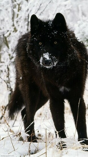 Black Wolf 720x1280 pixels Wallpapers tagged Wolfs