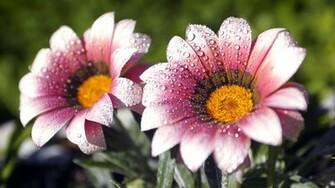 25 HD Flowers Wallpapers