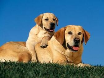 Yellow Labradors Wallpapers HD Wallpapers