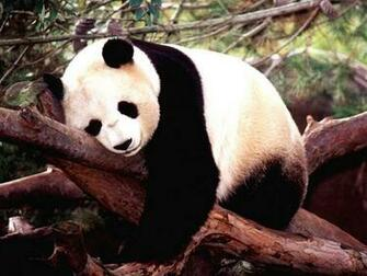 Chinese Panda Wallpapers 171 Nat Geo Adventure
