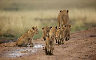 Choose Lion Family of cubs or find similar wallpapers in Animals pack