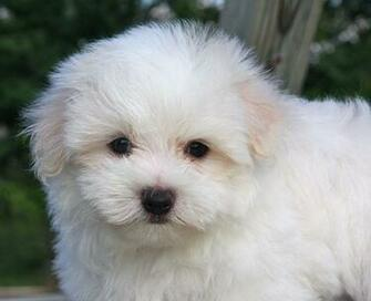 Maltese Pomeranian Mix Puppies For Sale 33 Background