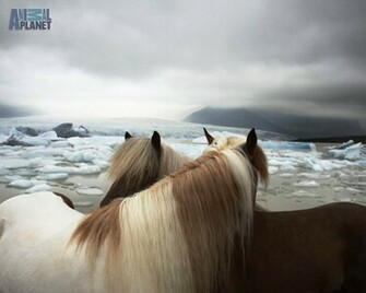 Animal Planet Wallpaper Download   horses