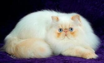 White Persian Cat Wallpapers HD Desktop Wallpapers Download