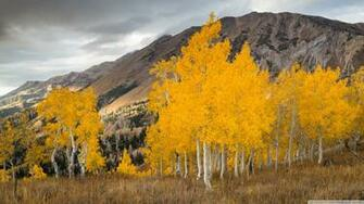 Aspen Trees In The Fall 4K HD Desktop Wallpaper for 4K Ultra HD