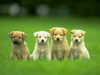 puppies cute puppy pictures cute puppy wallpaper cute wallpaper