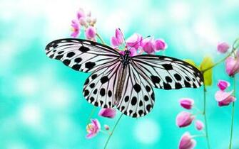 Butterfly HD Wallpaper Background Images