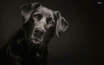Black Labrador Retriver wallpaper   Animal wallpapers   29801
