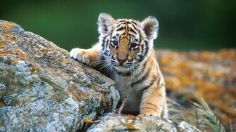 baby animal wallpaper 1 baby animal wallpaper 2 baby animal wallpaper
