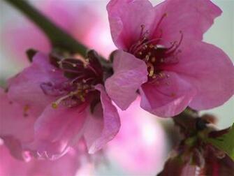 pink flowers spring theme Desktop wallpaper