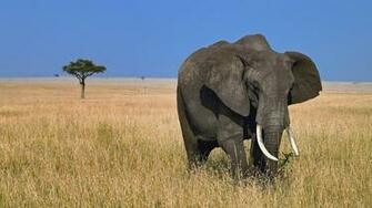 HD animal wallpaper with a big elephant in the wild HD elephant
