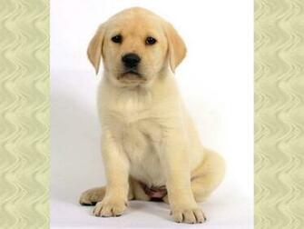 zoete labrador puppy wallpaper   ForWallpapercom