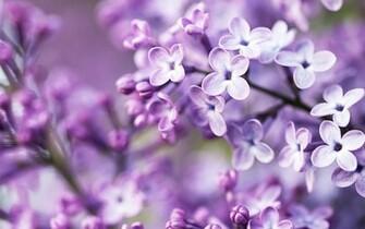Spring Purple Flowers Wallpapers HD Wallpapers