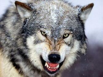 Wolf Wallpapers   Best Wolf Wallpapers
