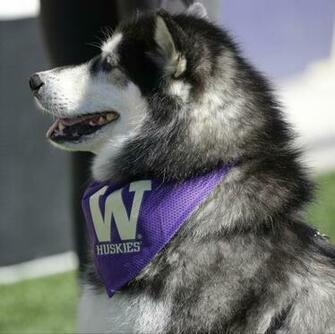 The Washington Huskies mascot is shown during an NCAA college football
