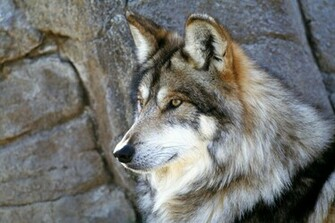 gray wolf wallpaper stones HD Wallpapers Desktop