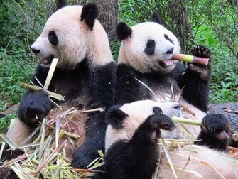 Panda Bears HD Wallpaper Animals Wallpapers