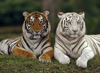 Orange White Tiger   Wallpaper   Animal Lovers Wallpaper