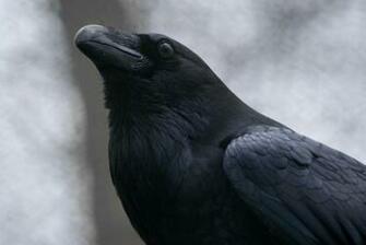 Raven Bird Wallpaper Pretty raven by akumajusan