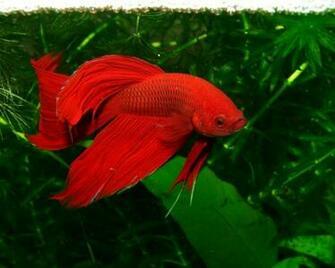 RED BETA FISH WALLPAPER   5618   HD Wallpapers   [WallpapersInHQ