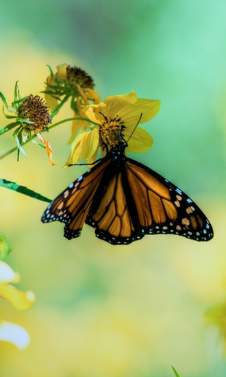 Monarch Butterflies HD Wallpapers Live wallpapers HD for Android