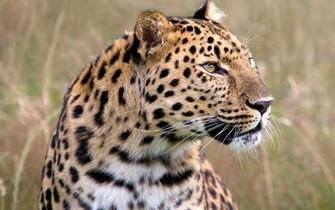 Male Amur Leopard Wildlife Heritage UK Wallpapers HD Wallpapers