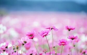 Pink Flower PC Wallpaper HD Wallpaper