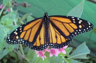 Monarch Butterfly 27 Background Wallpaper Wallpaper