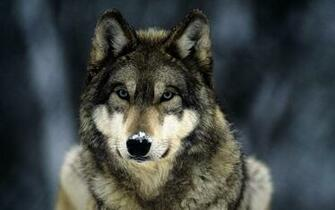 HD Grey Wolf Wallpapers HD Nature Wallpapers