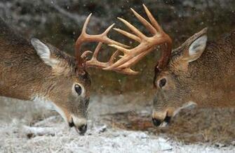 Clash of the Titans Deer Rut   Ontario Canada