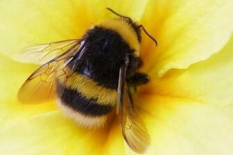 Bumble bee walk The Exeter Daily