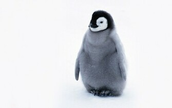 Cute Penguin   Penguins Wallpaper 24143954