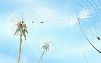 Dandelion flying desktop wallpaper Desktop Background Scenery