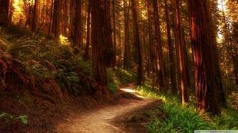Redwoods Wallpaper