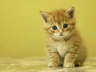 Cute Kitten Wallpaper Desktop Backgrounds 1024x768 pixel Popular HD