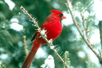 Northern CardinalChristmas Wallpaper Northern Cardinal Birds