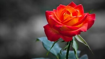 Orange Rose Wallpapers HD Wallpapers