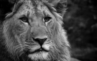 Black And White Wallpaper hd Lion Lions Black And White Photos