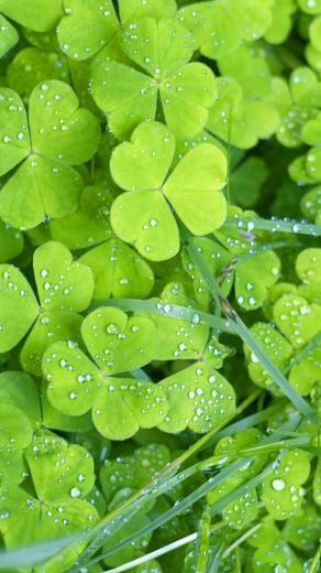 Irish Clovers iPhone 6 Wallpapers HD iPhone 6 Wallpaper