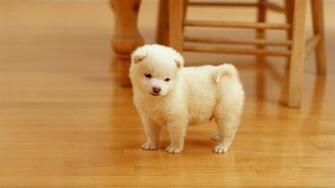 Cute White Puppy Desktop Wallpaper Windows 8 HD Wallpapers