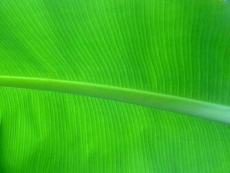 Palm Leaf Wallpaper Banana palm leaf by sassenach