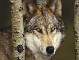 Fondos de Lobo encerrado Fondos de pantalla de Lobo