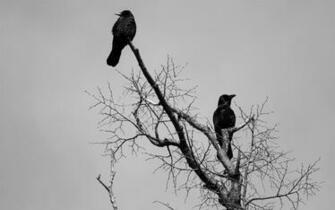 animals birds crows ravens gothic dark wallpaper background