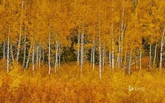 Autumn aspens in Grand Teton National Park Wyoming Matt