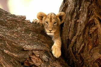 Funny wallpapersHD wallpapers lion cub wallpaper